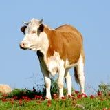 βοσκή βοοειδών Στοκ Εικόνα
