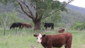 Βοσκή βοοειδών εκτός από ένα δέντρο ευκαλύπτων στην περιοχή συλλογής ποταμών MacLeay φιλμ μικρού μήκους