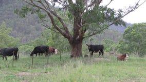 Βοσκή βοοειδών εκτός από ένα δέντρο ευκαλύπτων απόθεμα βίντεο