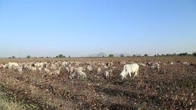 Βοσκή βοοειδών σε έναν μεγάλο τομέα από το δρόμο στο Jodhpur φιλμ μικρού μήκους
