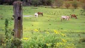Βοσκή βοοειδών σε ένα λιβάδι απόθεμα βίντεο