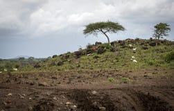 Βοσκή βοοειδών στην κορυφή και την ακακία στο πάρκο Amboseli Στοκ Εικόνα