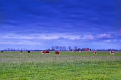 Βοσκή βοοειδών στο λιβάδι στο ηλιοβασίλεμα Στοκ Φωτογραφίες