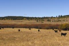 Βοσκή βοοειδών στο λιβάδι φθινοπώρου Στοκ Φωτογραφίες
