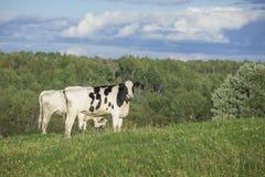 Βοσκή βοοειδών του Χολστάιν στους τομείς Στοκ Φωτογραφία