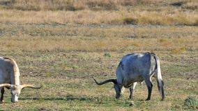 βοσκή βοοειδών απόθεμα βίντεο