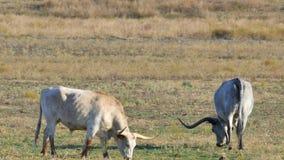 βοσκή βοοειδών φιλμ μικρού μήκους