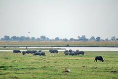 Βοσκή βούβαλων και hippos ακρωτηρίων Στοκ Φωτογραφία