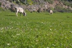 Βοσκή δύο αγελάδων στεμένος και τρώγοντας τη χλόη σε ένα πράσινο λιβάδι Στοκ εικόνα με δικαίωμα ελεύθερης χρήσης