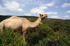 Βοσκή καμηλών στην επιφύλαξη ελεφάντων Babile στοκ φωτογραφίες
