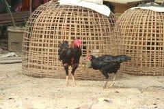Βοσκή κοκκόρων και κοτόπουλου στο έδαφος Στοκ Εικόνες