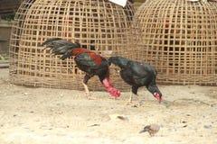 Βοσκή κοκκόρων και κοτόπουλου στο έδαφος Στοκ Εικόνα