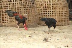 Βοσκή κοκκόρων και κοτόπουλου στο έδαφος Στοκ φωτογραφίες με δικαίωμα ελεύθερης χρήσης