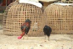 Βοσκή κοκκόρων και κοτόπουλου στο έδαφος Στοκ Φωτογραφίες
