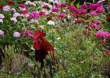 Βοσκή κοκκόρων στον κήπο στοκ φωτογραφίες με δικαίωμα ελεύθερης χρήσης