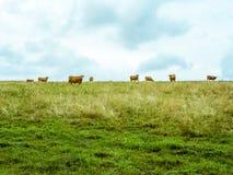 Βοσκή κοπαδιών αγελάδων στον ορίζοντα, δονούμενο απλό λιβάδι Στοκ Φωτογραφίες