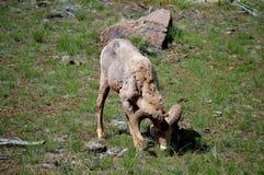 Βοσκή προβάτων Bighorn Στοκ Εικόνες