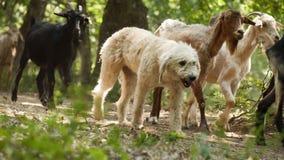 Βοσκή σκυλιών Στοκ φωτογραφία με δικαίωμα ελεύθερης χρήσης