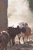 βοσκή σκόνης αγελάδων στοκ εικόνα με δικαίωμα ελεύθερης χρήσης