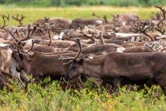 Βοσκή ταράνδων tundra στοκ φωτογραφία