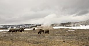 Βοσκή Buffalo ή βισώνων δίπλα παλαιό πιστό Geyser, Yellowston Στοκ Φωτογραφία