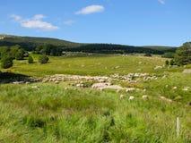 Βοσκή Sheeps στη Γαλλία Στοκ Εικόνες