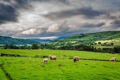 Βοσκή Sheeps στο λιβάδι στη λίμνη περιοχής, Αγγλία Στοκ Εικόνα