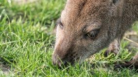 Βοσκή wallaby Στοκ Φωτογραφία