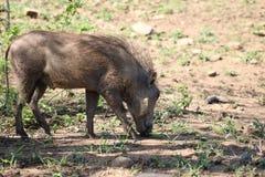 βοσκή warthog Στοκ Εικόνες