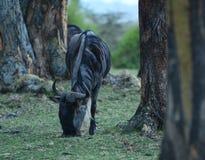 Βοσκή Wildebeest Στοκ Εικόνες