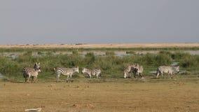 Βοσκή Zebras πεδιάδων απόθεμα βίντεο