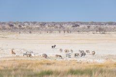 Βοσκή Zebras στο θάμνο, αφρικανική σαβάνα Σαφάρι άγριας φύσης, εθνικό πάρκο Etosha, επιφυλάξεις άγριας φύσης, Ναμίμπια, Αφρική Στοκ εικόνες με δικαίωμα ελεύθερης χρήσης