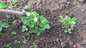 Βοτανίζοντας τη φράουλα καλλιεργήστε την άνοιξη απόθεμα βίντεο