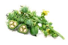 Βοτανικά πράσινα φασόλια καστόρων στοκ εικόνες
