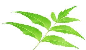 βοτανικά φύλλα neem Στοκ Εικόνα