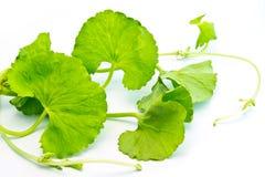 Βοτανικά φύλλα Thankuni Στοκ φωτογραφία με δικαίωμα ελεύθερης χρήσης