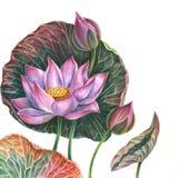Βοτανική απεικόνιση Λωτός Watercolor Στοκ Φωτογραφίες