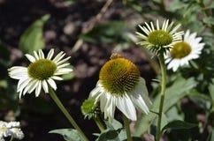 Βοτανικοί κήποι του Ντένβερ: Άσπρο Asters με την ευεργετική μέλισσα στοκ φωτογραφία