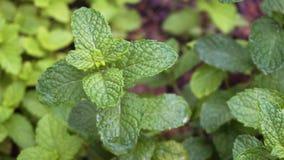 Βοτανικός κήπος με τη μέντα φιλμ μικρού μήκους