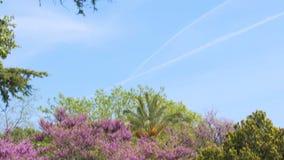 Βοτανικός κήπος της Νίκαιας, πανόραμα του καταπληκτικού δέντρου με τα ιώδη λουλούδια, φύση απόθεμα βίντεο