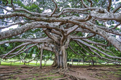 Βοτανικός κήπος Peradeniya, Kandy Στοκ φωτογραφία με δικαίωμα ελεύθερης χρήσης