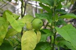 βοτανικός τρύγος δέντρων αναπαραγωγής λεμονιών βιβλίων στοκ φωτογραφίες