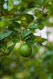 βοτανικός τρύγος δέντρων αναπαραγωγής λεμονιών βιβλίων Στοκ Φωτογραφία