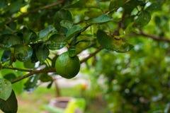 βοτανικός τρύγος δέντρων αναπαραγωγής λεμονιών βιβλίων Στοκ Εικόνες
