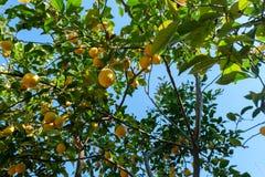 βοτανικός τρύγος δέντρων αναπαραγωγής λεμονιών βιβλίων Στοκ Εικόνα