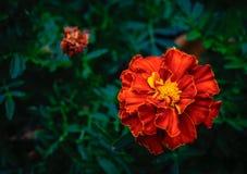Βοτανικό βαθύ πορτοκαλί marigold λεπτομέρειας λουλούδι στο σκούρο πράσινο υπόβαθρο φυλλώματος Στοκ Φωτογραφίες