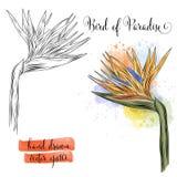 Βοτανικό λουλούδι πουλιών watercolor τέχνης του παραδείσου απεικόνιση αποθεμάτων