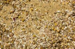 Βοτανικό camomile τσάι στοκ φωτογραφία με δικαίωμα ελεύθερης χρήσης