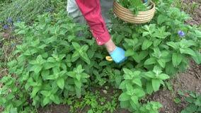 Βοτανολόγος κηπουρών που επιλέγει τις φρέσκες ιατρικές εγκαταστάσεις μεντών απόθεμα βίντεο