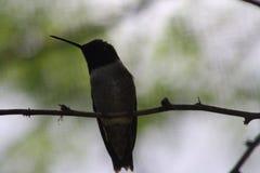 Βουίζοντας κοιλιά πουλιών Στοκ εικόνα με δικαίωμα ελεύθερης χρήσης